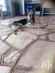 German Shephard Puppies For Sale | Dogs & Puppies for sale in Kitui, Kwavonza/Yatta