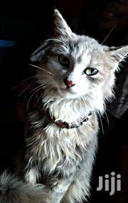 Persian Cat | Cats & Kittens for sale in Kisumu, North West Kisumu