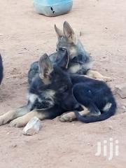 German Shephard Puppies | Dogs & Puppies for sale in Kitui, Kwavonza/Yatta