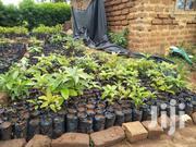 Avacado Seedlings | Meals & Drinks for sale in Machakos, Mbiuni